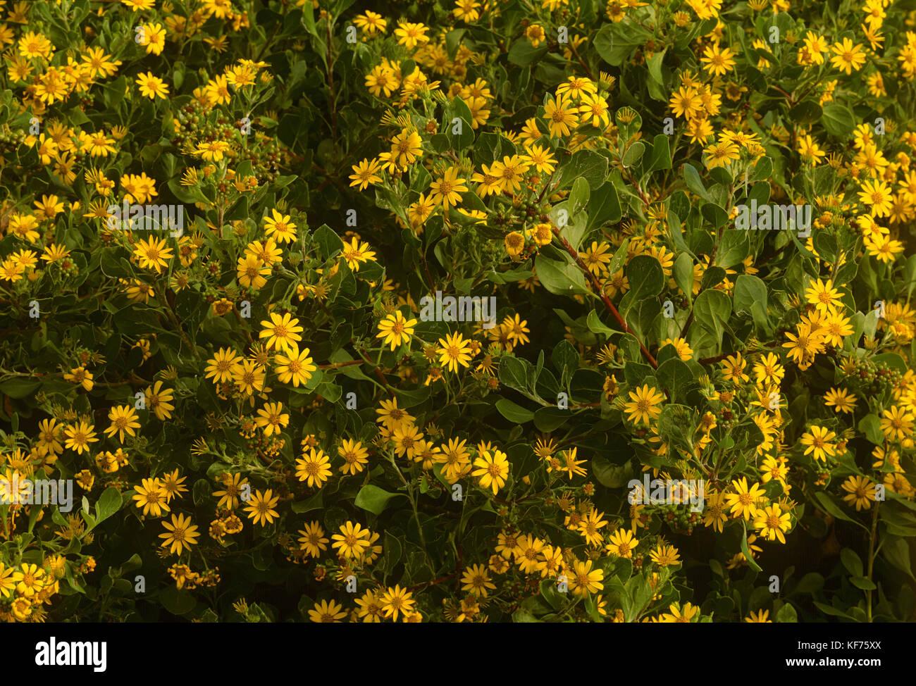 Bitou Bush Chrysanthemoides Monilifera Rotundata With Mass Of