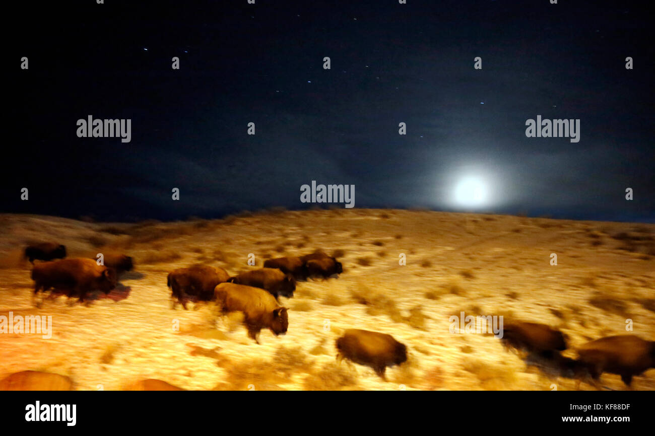 USA, Wyoming, Yellowstone National Park, bison walking in the night under the moon adn stars, near the North Entrance - Stock Image