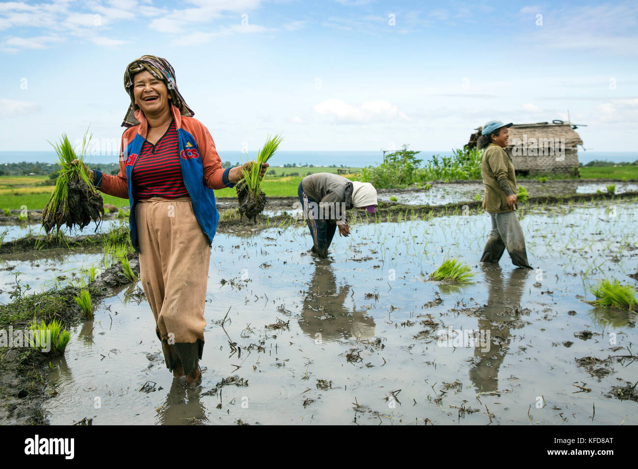 INDONESIA, Flores, women plant rice shoots in a field in Narang village - Stock Image