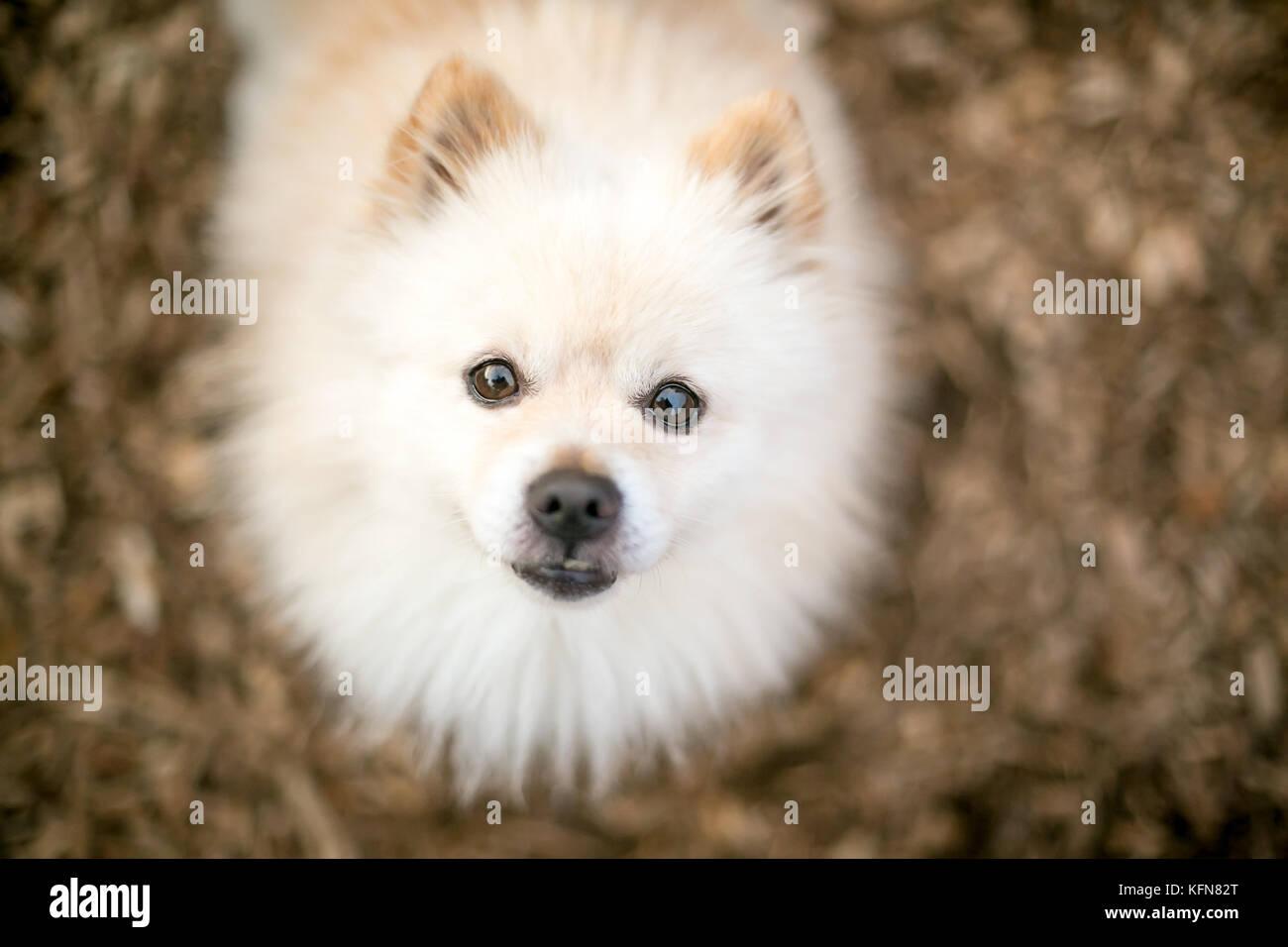 A Cream Colored Purebred Pomeranian Dog Stock Photo 164580496 Alamy