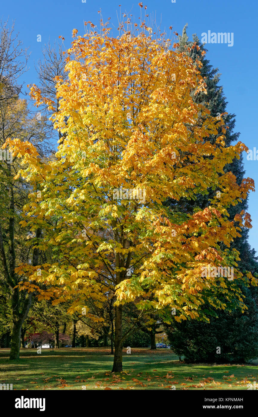 Bigleaf maple tree Acer macrophyllum with fall foliage in Shaughnessy Park, Vancouver, BC, Canada Stock Photo