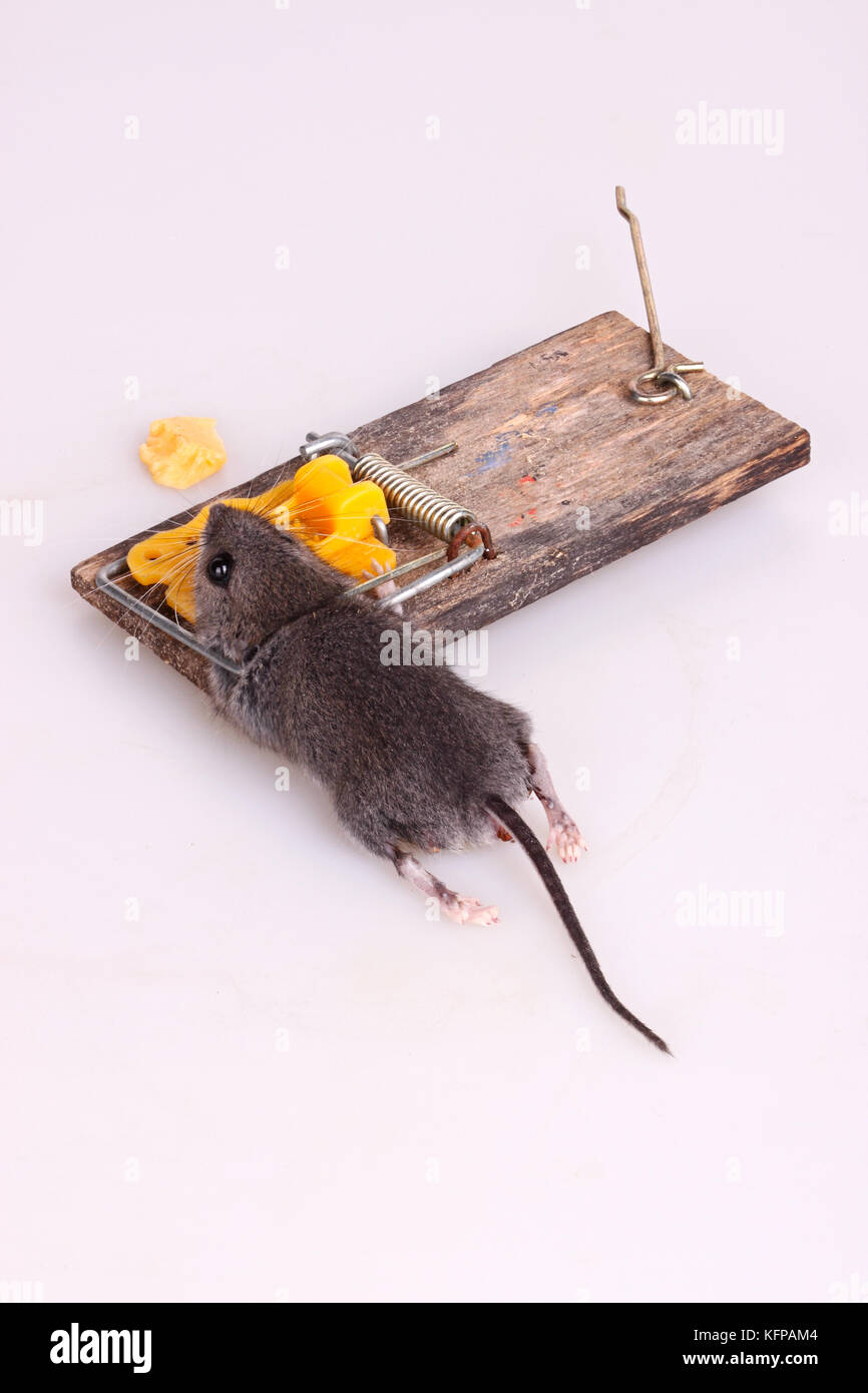 how to find dead mouse in house