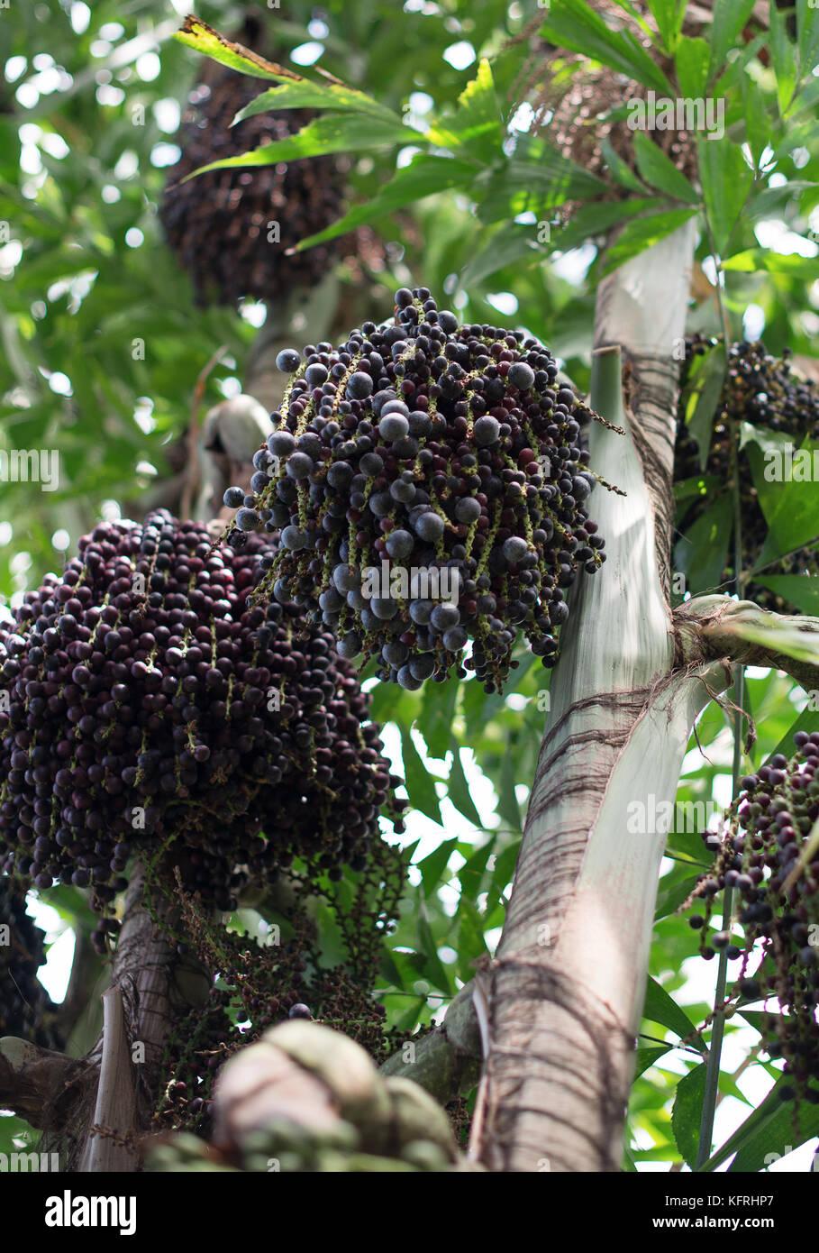 Acai berries on palm tree. Euterpe oleracea.Stock Photo