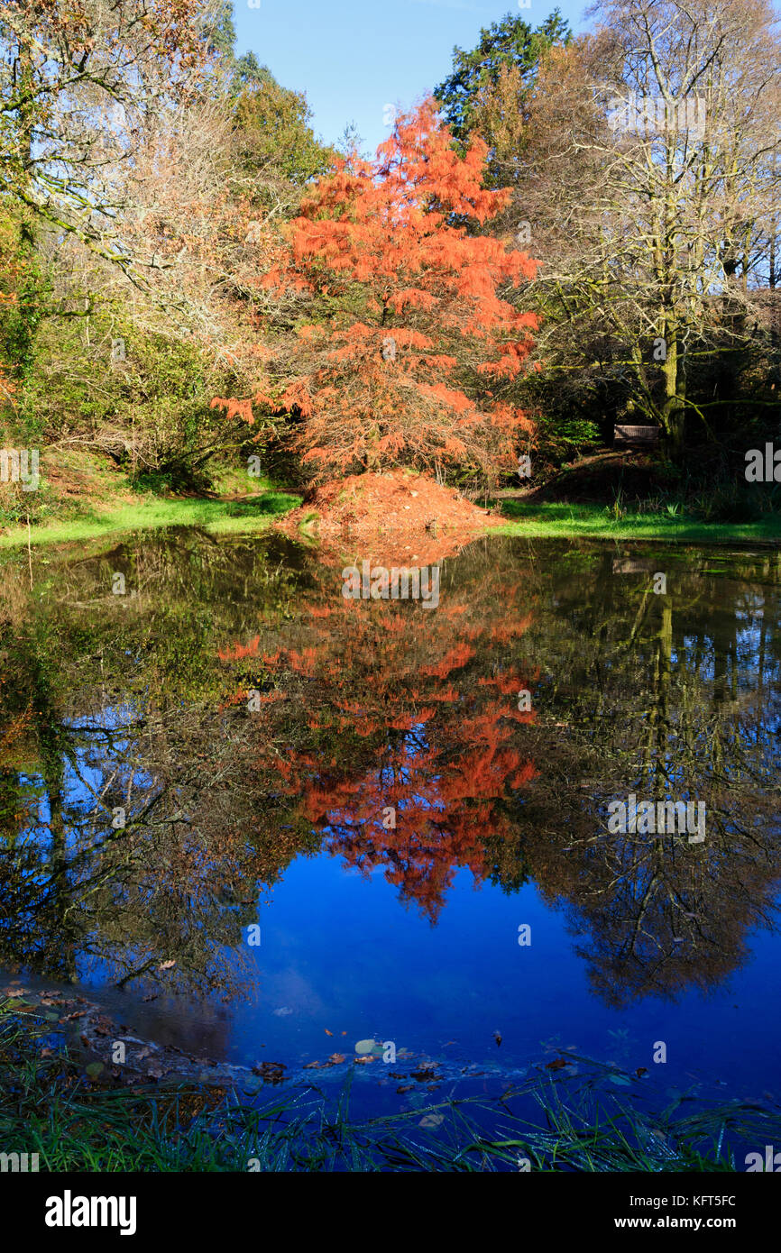 Swamp cypress, Taxodium distichum, and reflection in red autumn foliage by the side of a small lake Stock Photo