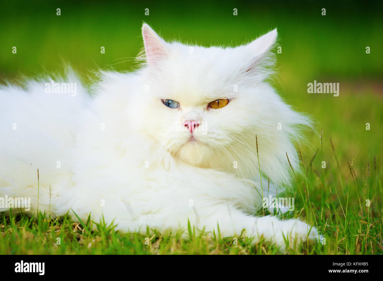 2fcb6d4e3a white Persian cat with 2 different-colored eyes (heterocromatic eyes) on  the grass field