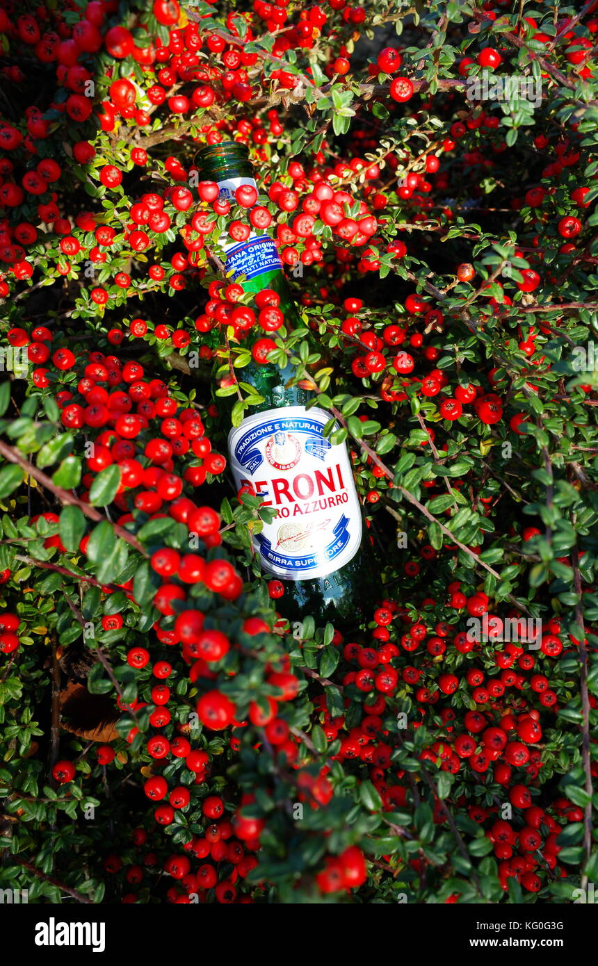 empty-beer-bottle-discarded-by-litter-lout-in-a-cotoneaster-bush-KG0G3G.jpg