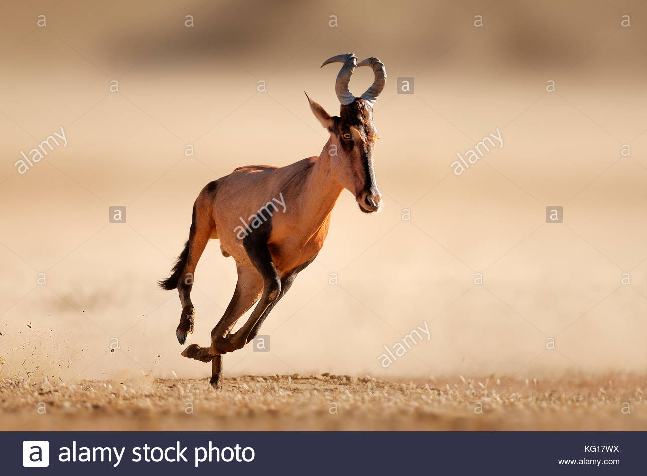 Red hartebeest (Alcelaphus caama) running full speed over sandy and dusty plains of kalahari desert - Kgalagadi - Stock Image