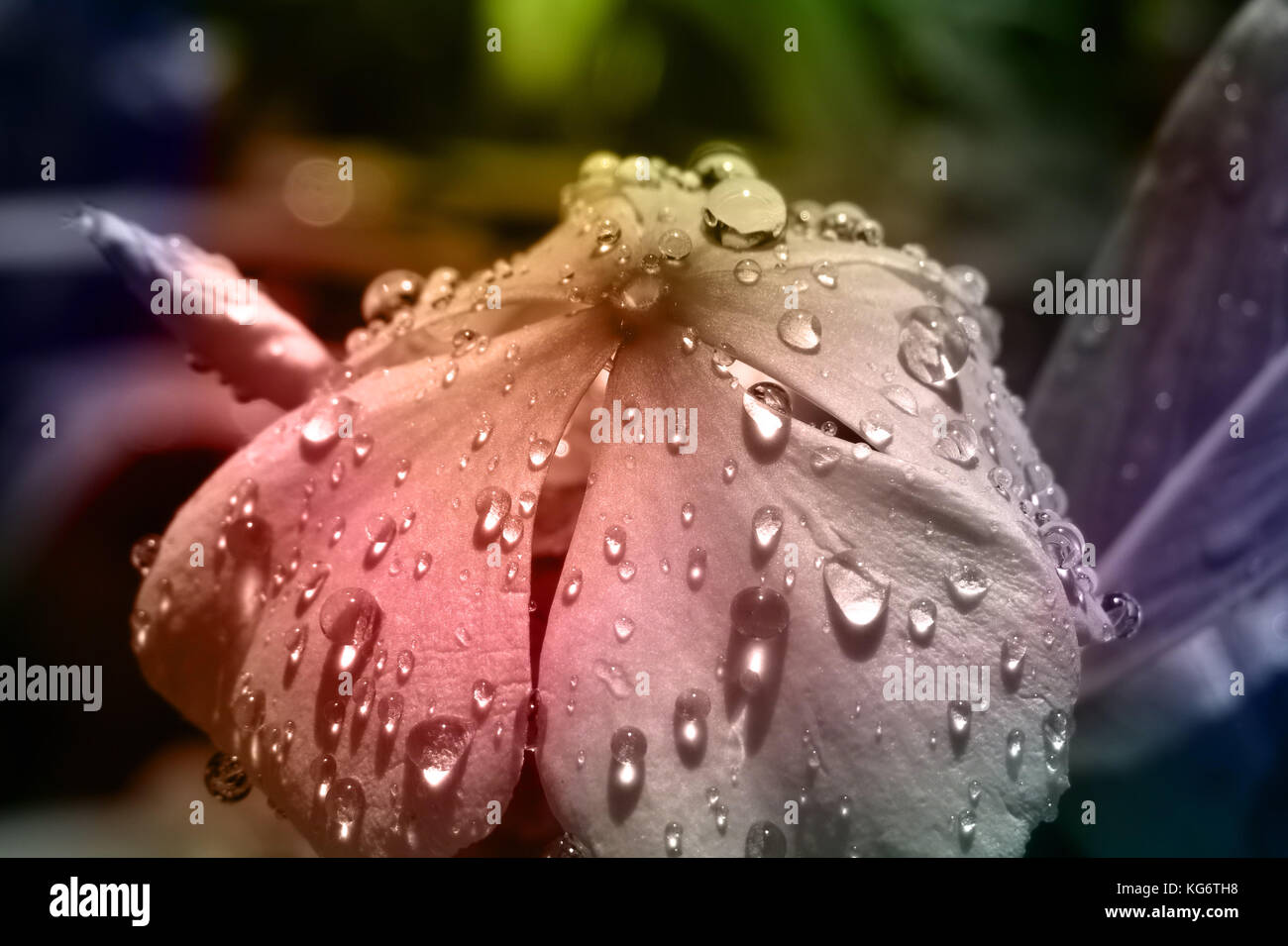 A beautiful tropical flower with fresh raindrops on its delicate petals - Stock Image