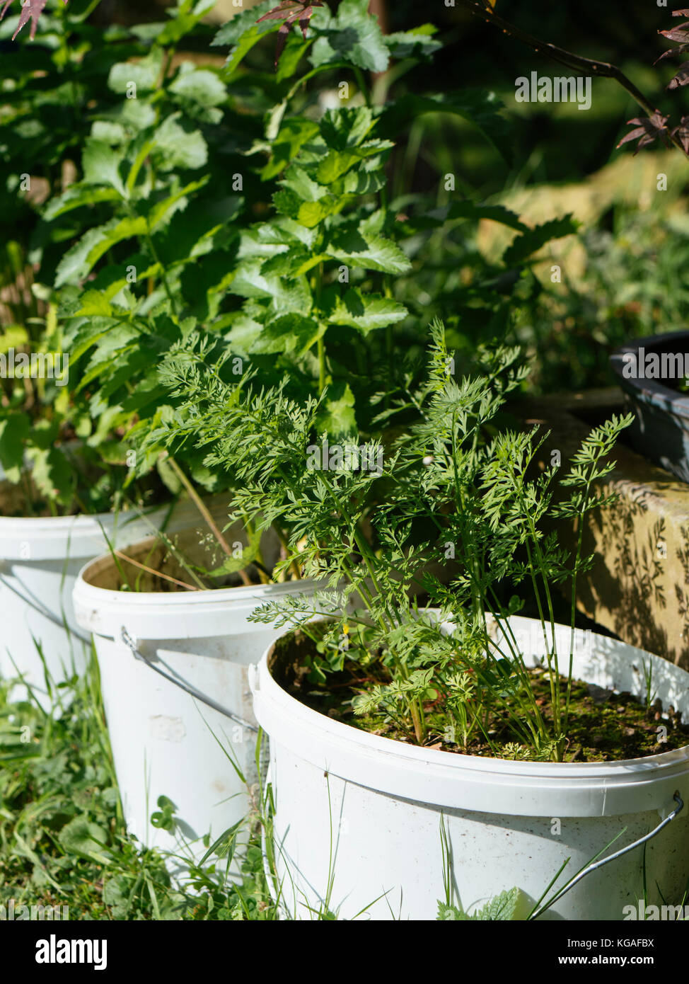 Carrots and parsnip growing in old paint buckets. - Stock Image
