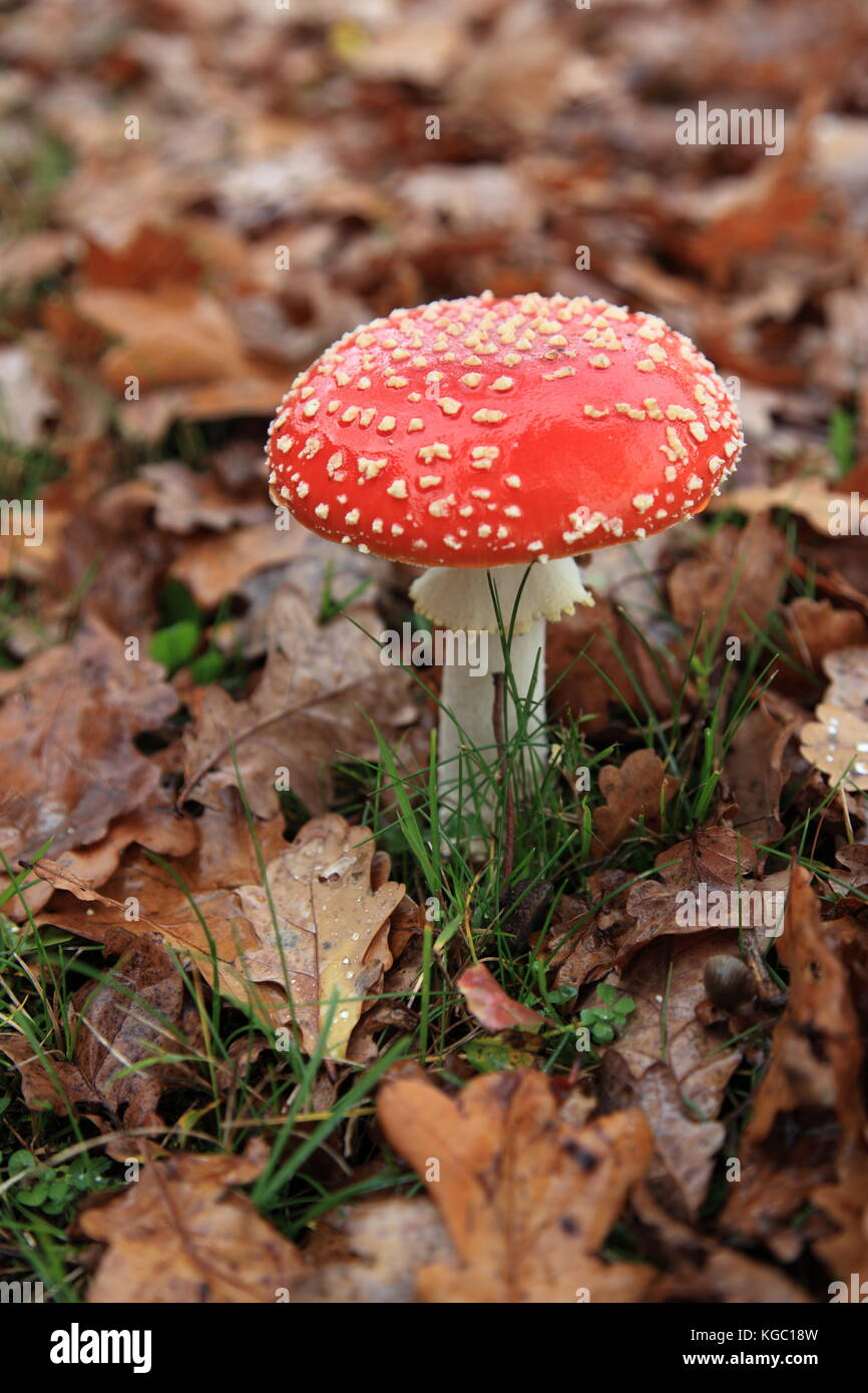 fly agaric in a  in a carpet of fallen oak tree leaves in autumn. Photo by Willy Matheisl - Stock Image