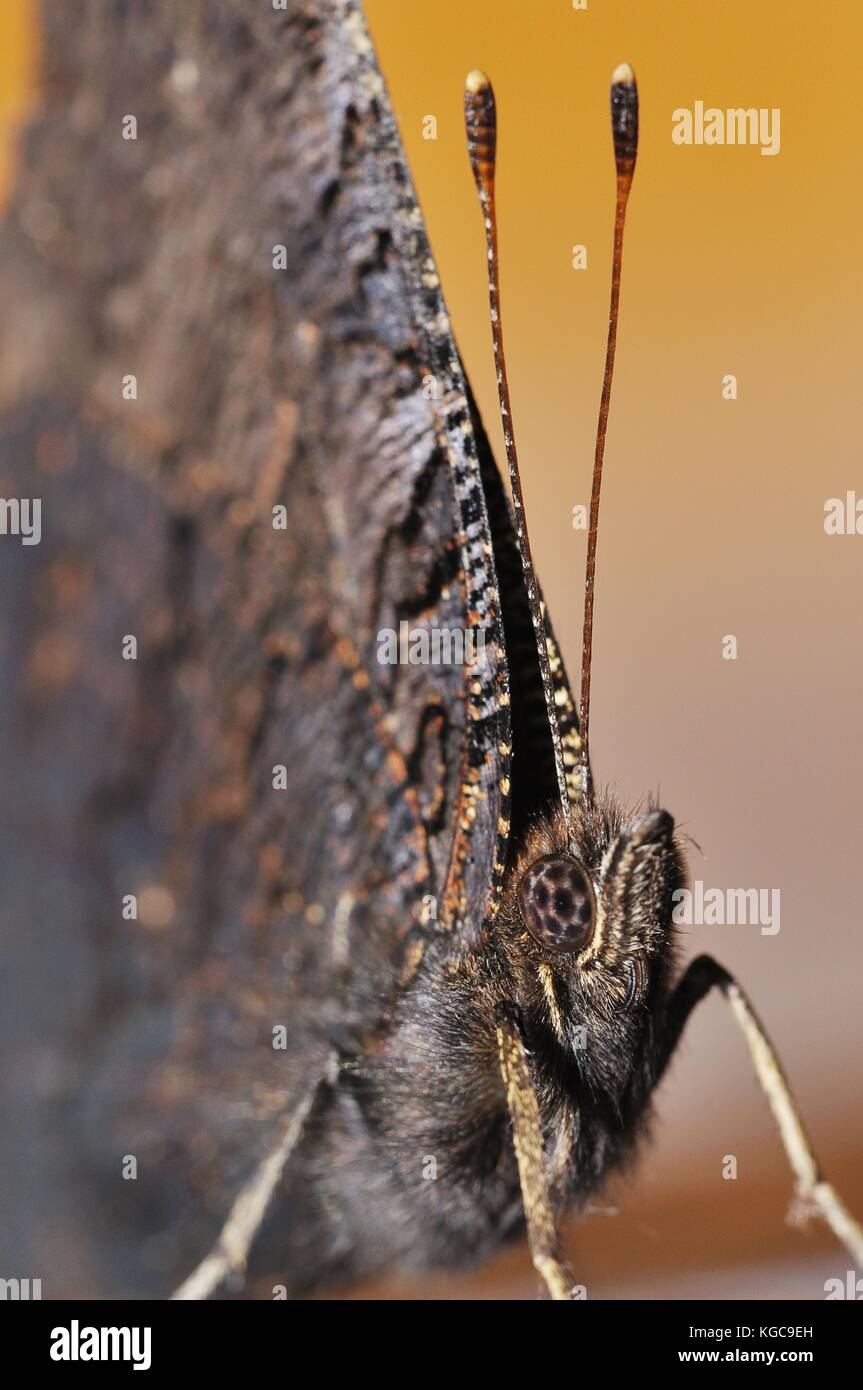 The European Peacock (Aglais io) detail. Brown inconspicuous butterfly close up. - Stock Image