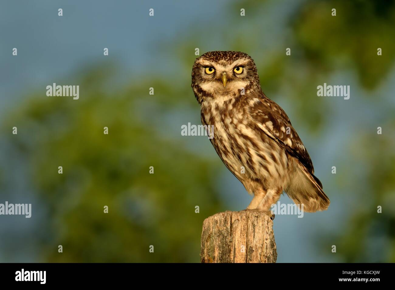 Little Owl (Athene noctula) perched on a pale close up enlightened by evening sun. - Stock Image