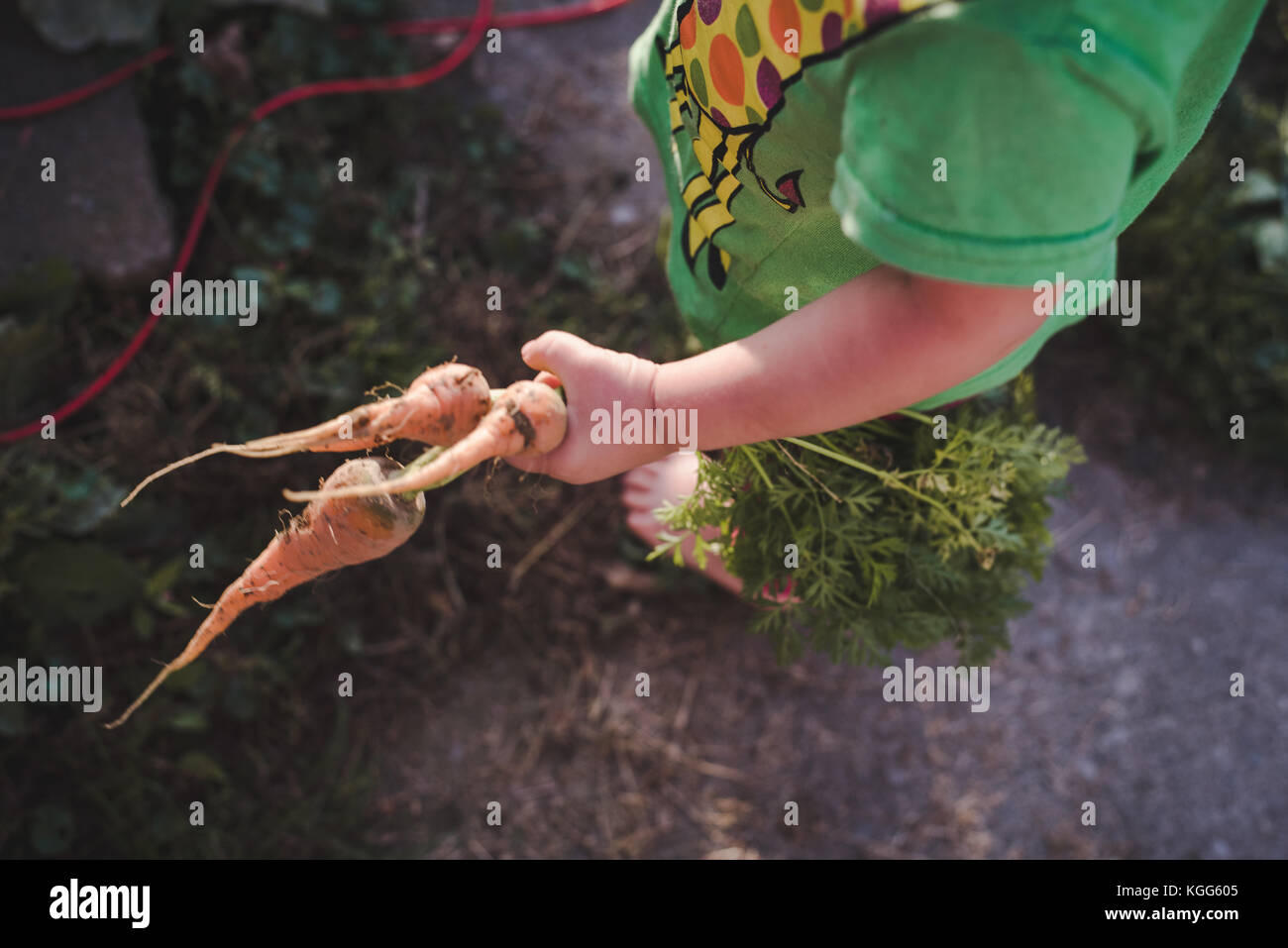 toddler holding carrots fresh out of a garden - Stock Image