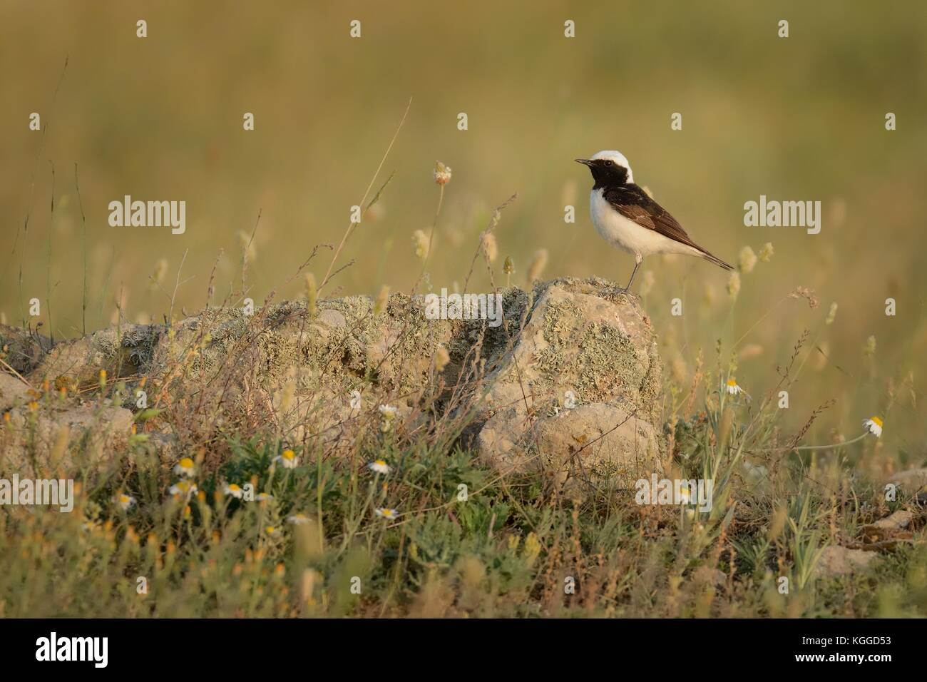 Pied Wheatear - Oenanthe pleschanka in Romania, mountain, sitting on the rock - Stock Image