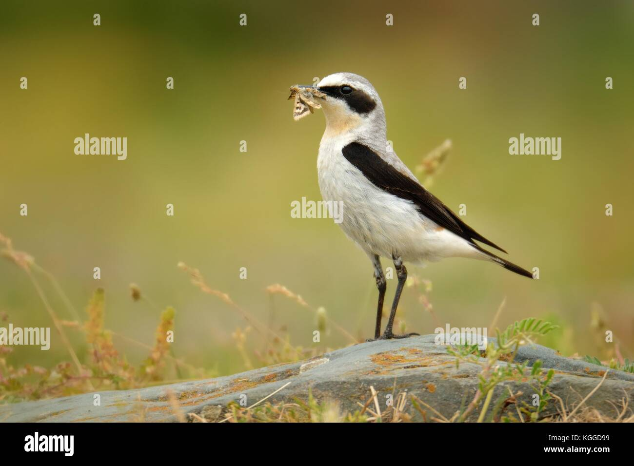 Northern Wheatear (Oenanthe oenanthe) with the moth during its chicks feeding. Sitting on the stone on rocky place. - Stock Image
