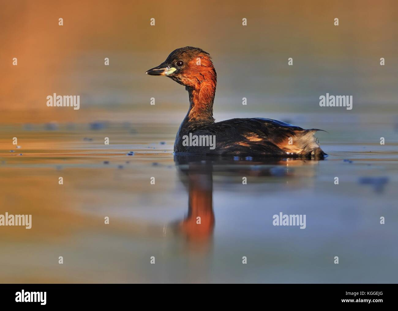 Little Grebe - Tachybaptus ruficollis swimming on the water - Stock Image