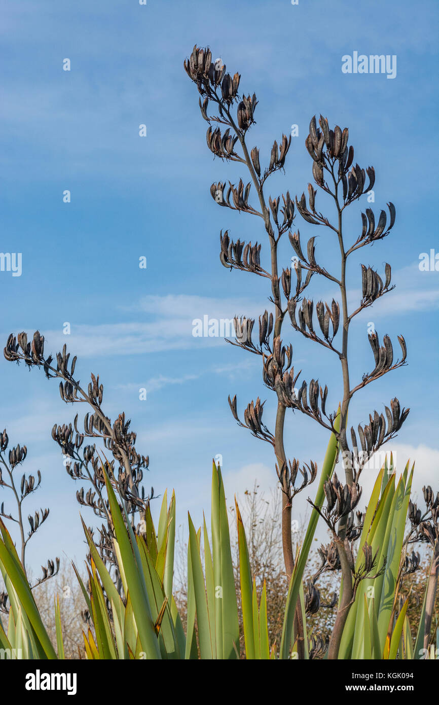 Old seed pods of an unidentified variety of Yucca growing in Cornwall, UK. - Stock Image
