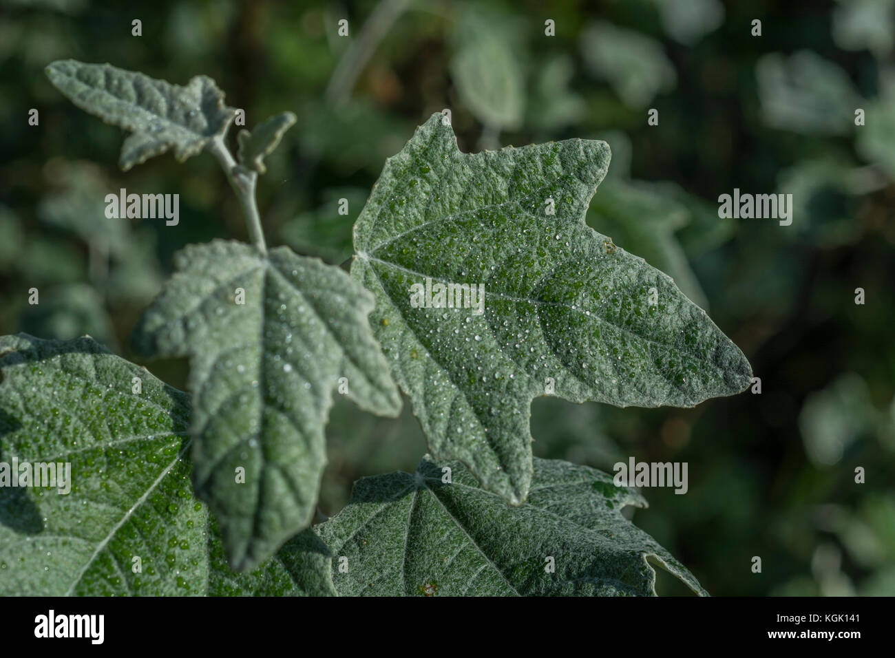 Close up of downy white leaf with fine droplets of morning dew. Shrub species no known. - Stock Image