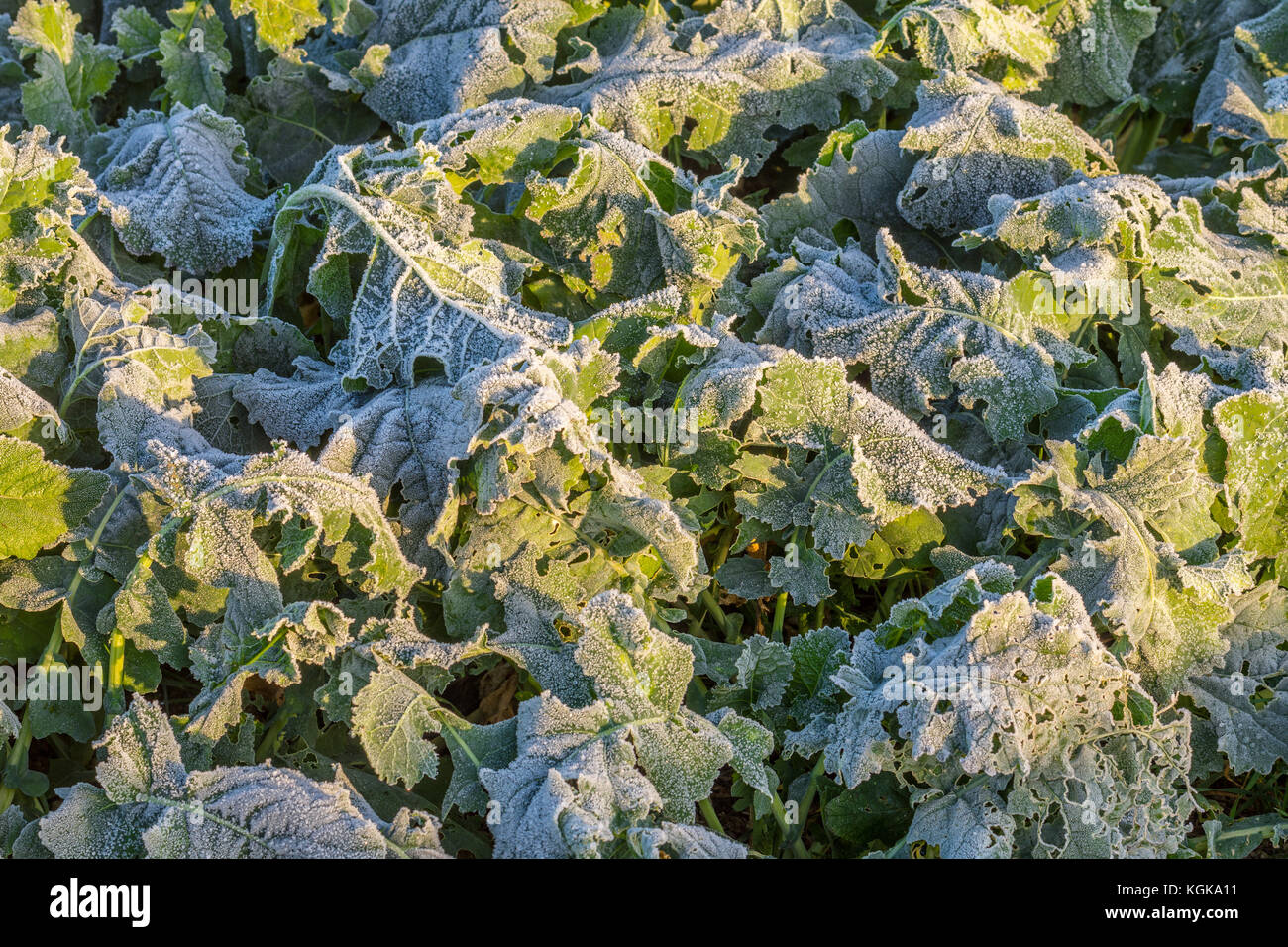 Morning frost on leaves of young Canola / Oilseed / Colza plants - France. - Stock Image