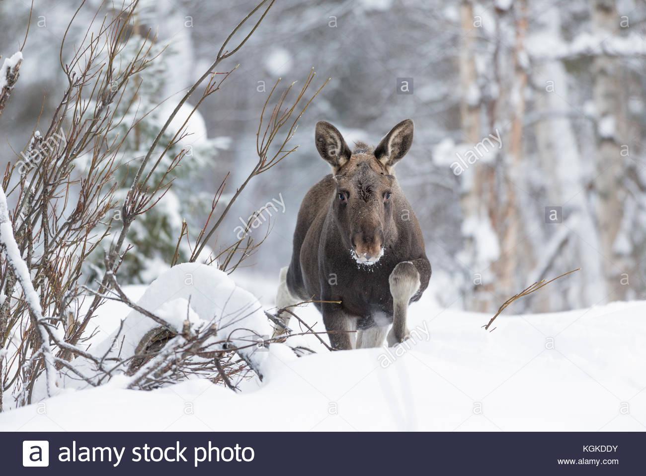 European elk, Alces alces, walking in snow. - Stock Image