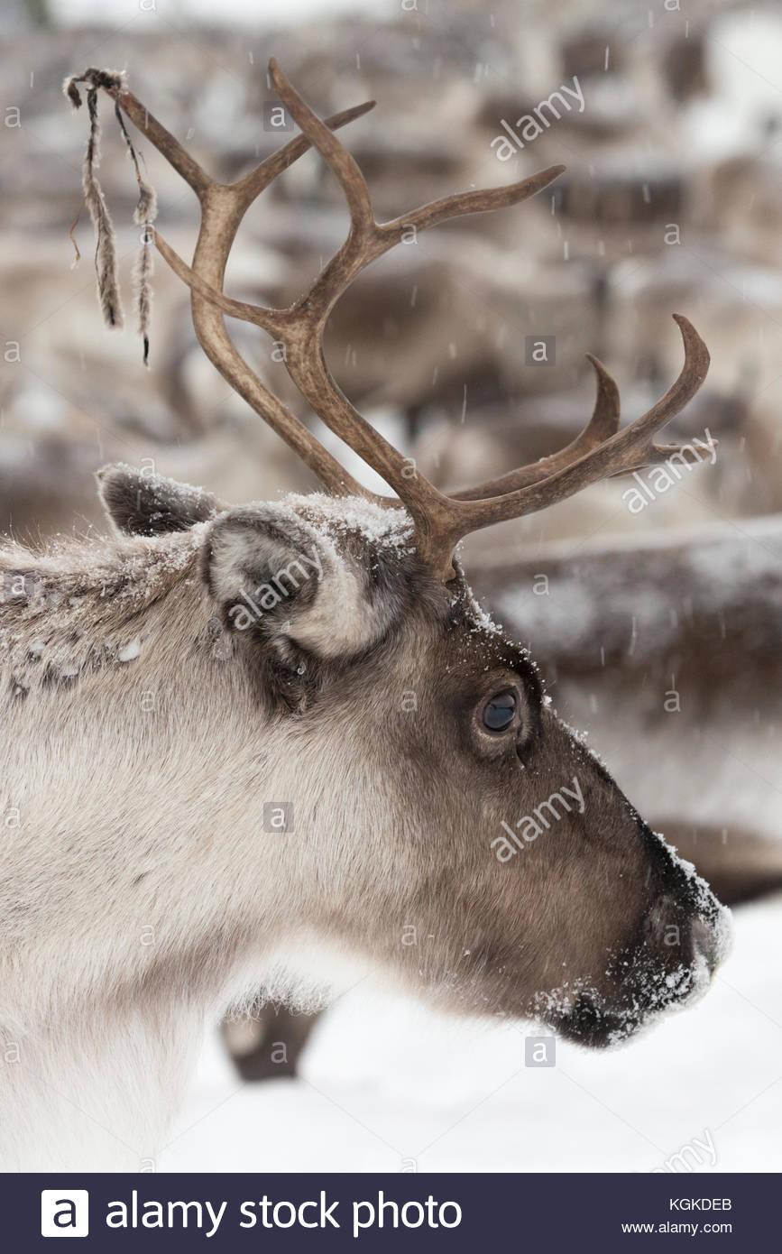 Portrait of a domesticated Reindeer, Rangifer tarandus. - Stock Image
