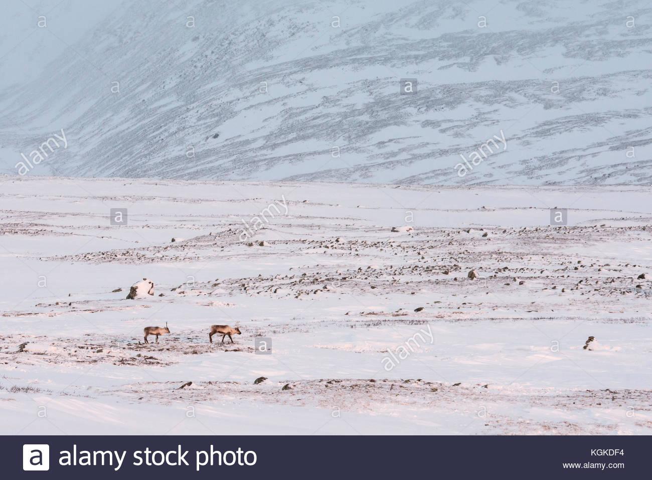 Semi-domesticated Reindeer, Rangifer tarandus, roaming free in snow-covered mountain landscape. - Stock Image