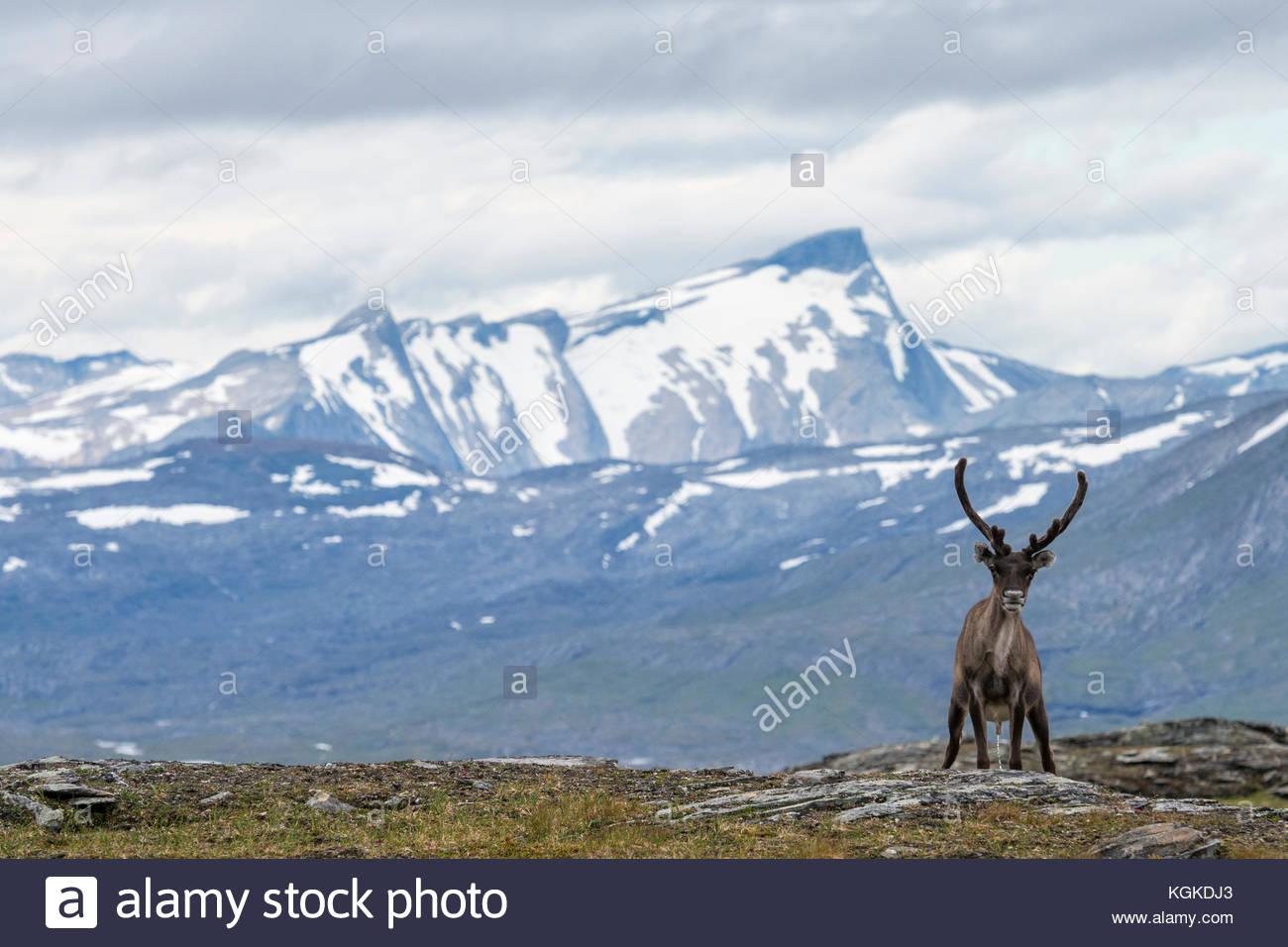 Semi-domesticated reindeer, Rangifer tarandus, in Padjelanta National Park. - Stock Image