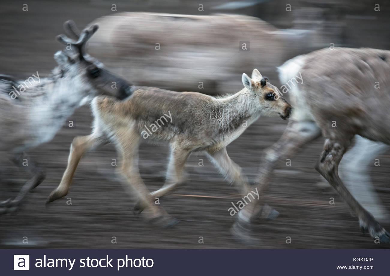 Semi-domesticated reindeer, Rangifer tarandus, running inside an enclosure during calf-marking. - Stock Image