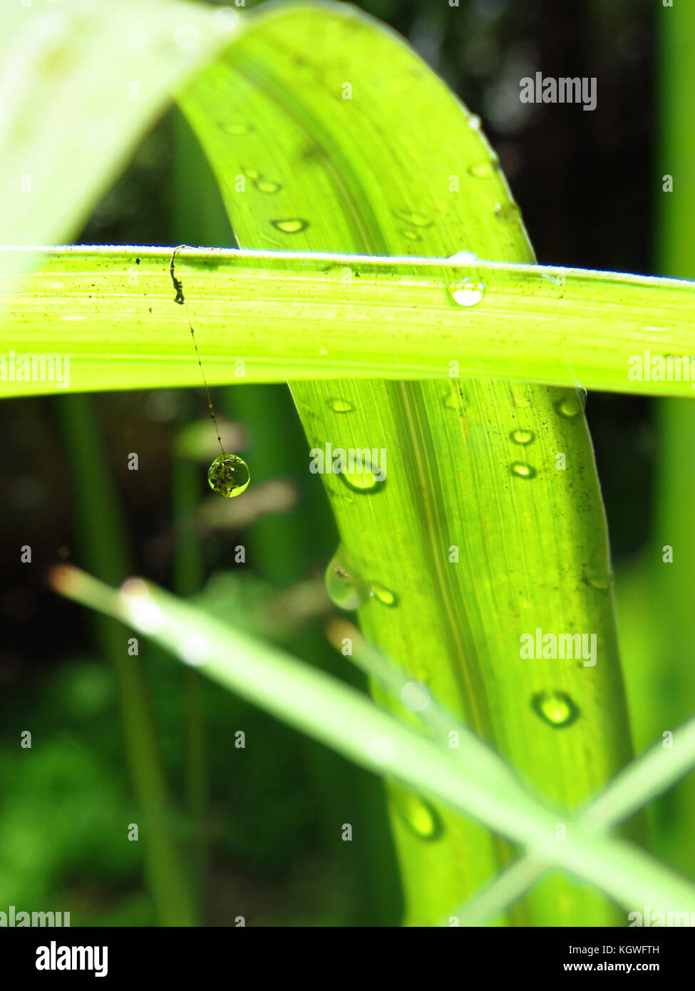 Raindrops on lemongrass and a raindrop hanging on the strand of a spider web for mobile backgrounds - Stock Image
