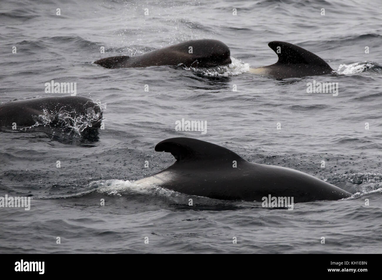 Long-finned pilot whales surfacing in the outer Beagle Channel of Argentina Stock Photo