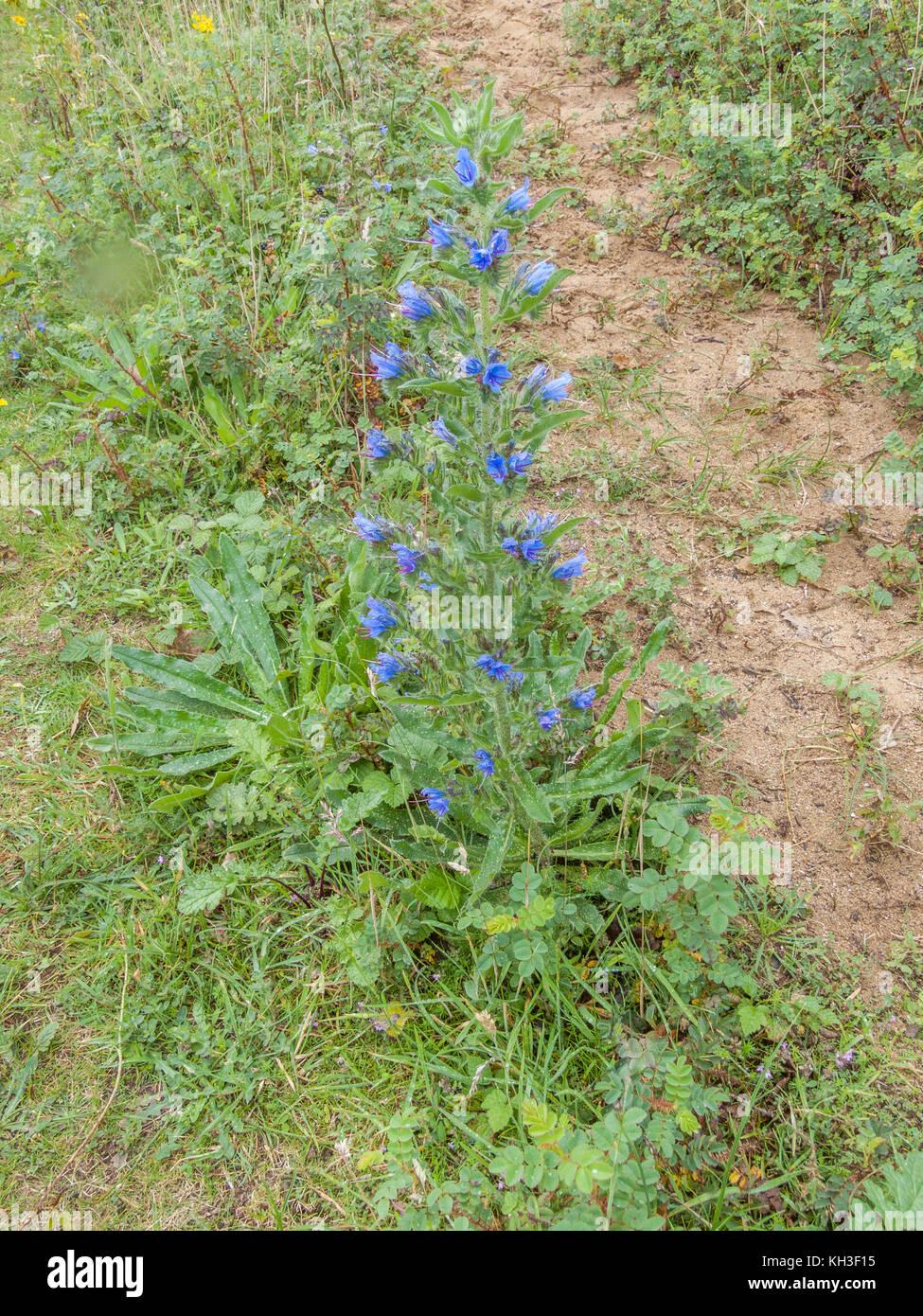 Flowering specimen of Viper's-bugloss (Echium vulgare) growing in sandy soil. - Stock Image