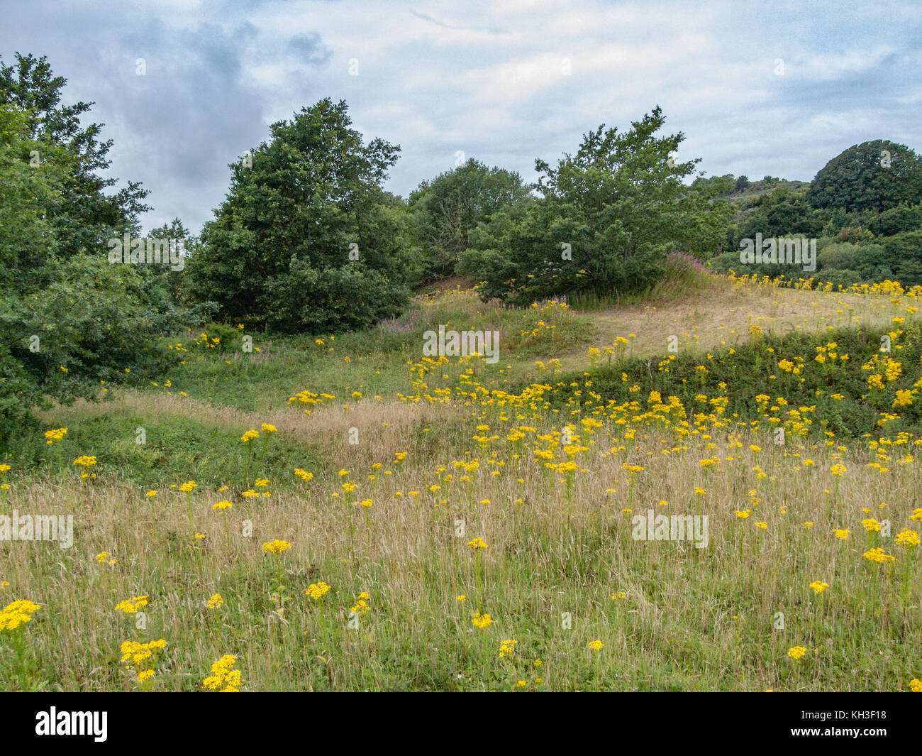 Coastal sand dune ecosystem with yellow flowers of Common Ragwort (Senecio jacobaea) in evidence. - Stock Image