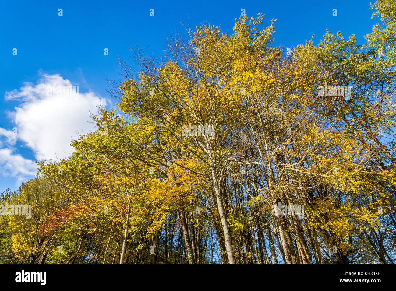 Autumn foliage in mixed woodland - France. - Stock Image
