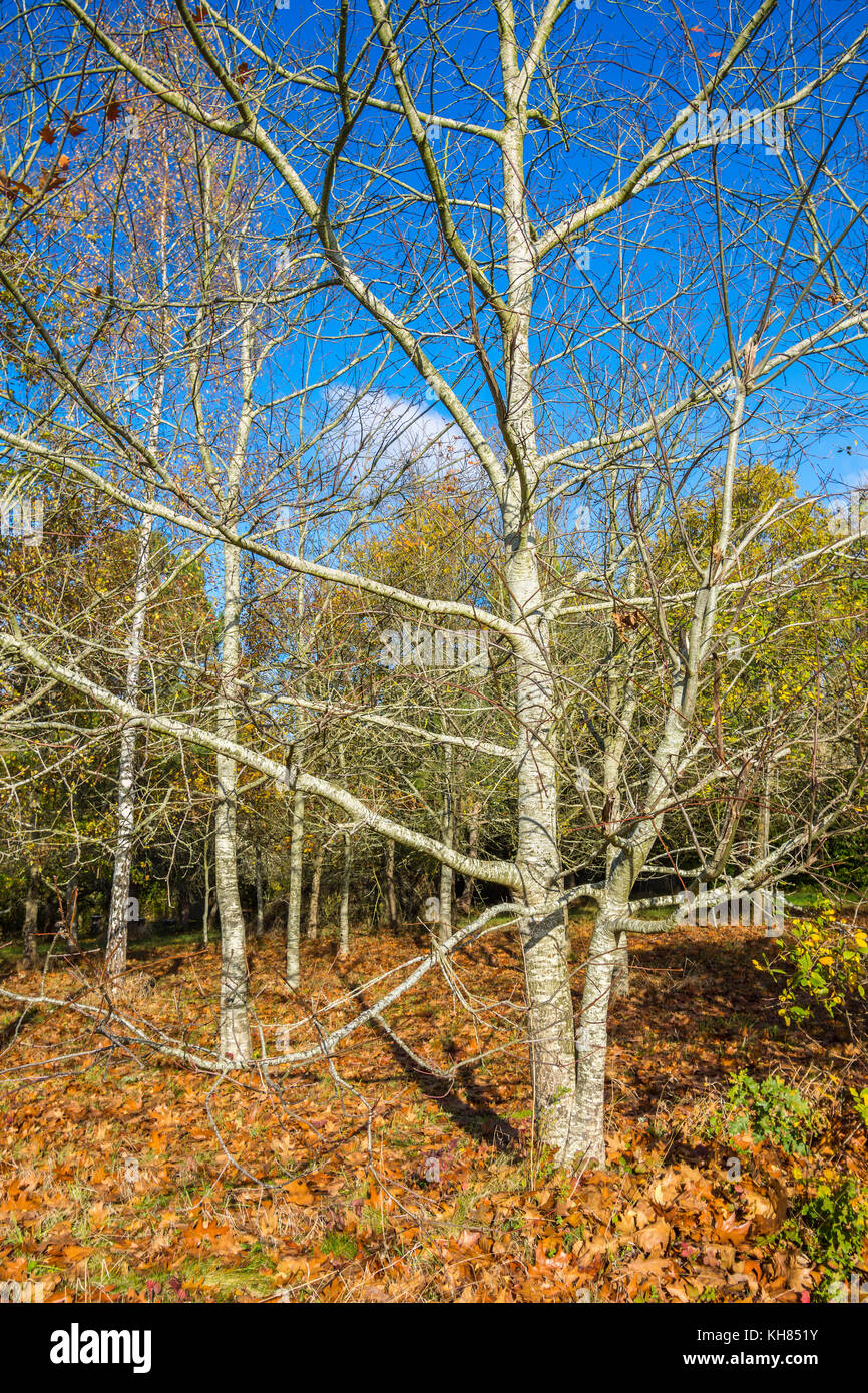 Autumn woodland and tree without leaves - France. - Stock Image