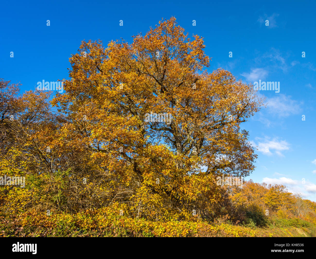 Autumn leaves on Oak Tree - France. - Stock Image