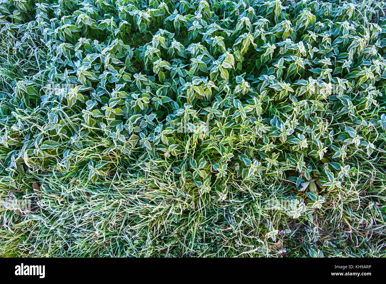 Frost on Stinging Nettle leaves. - Stock Image