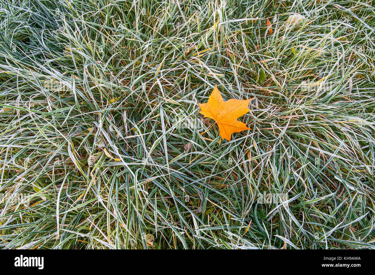 Frost on Plane tree leaf and grass. - Stock Image