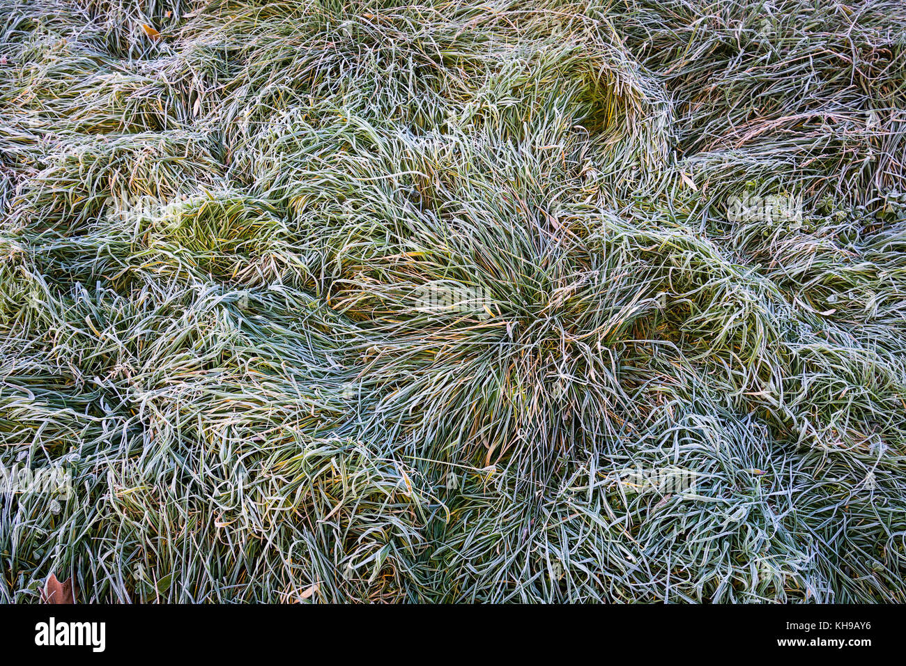 Frost on grass. - Stock Image