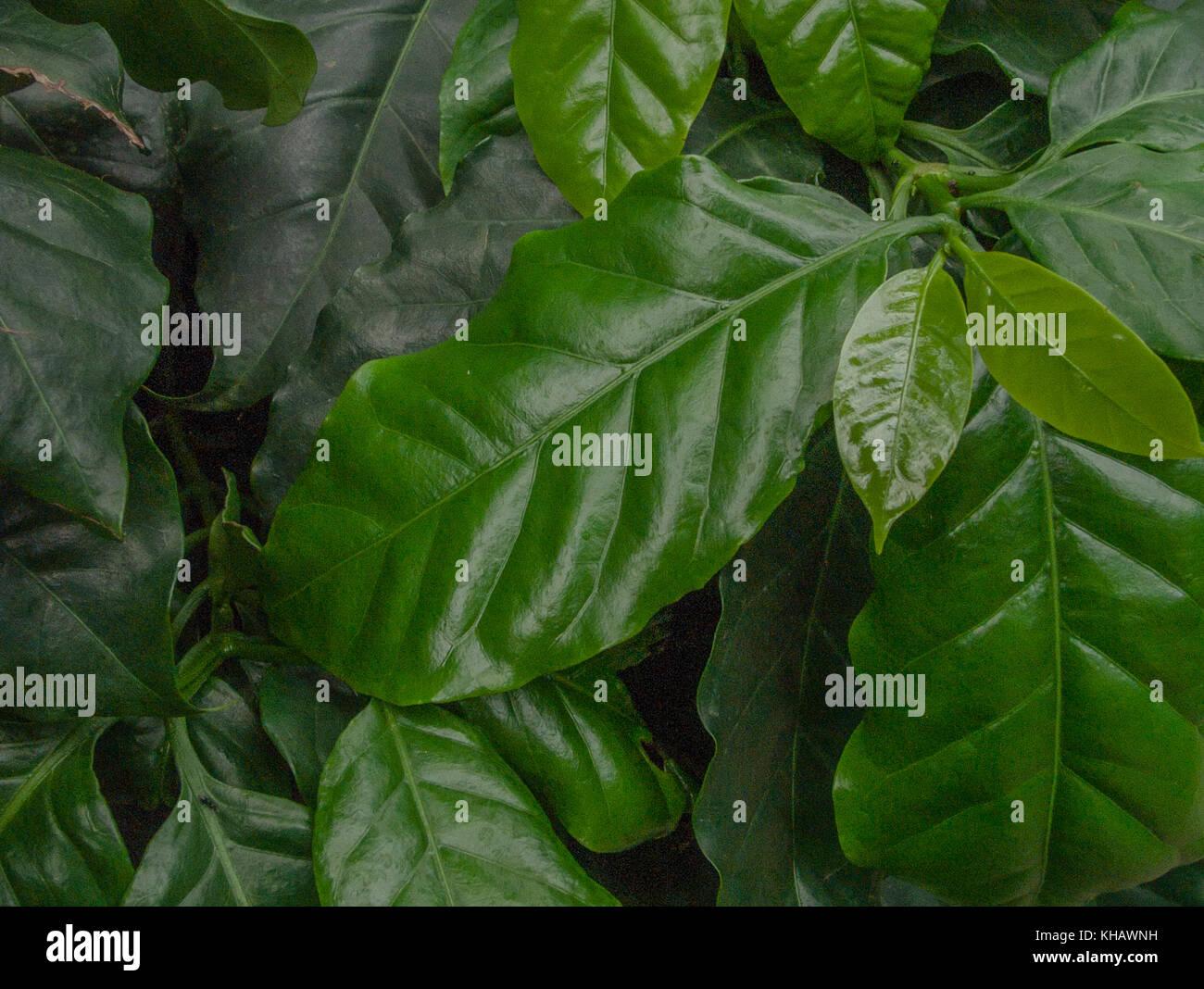Foliage of the Arabian Coffee plant (Coffea arabica). - Stock Image