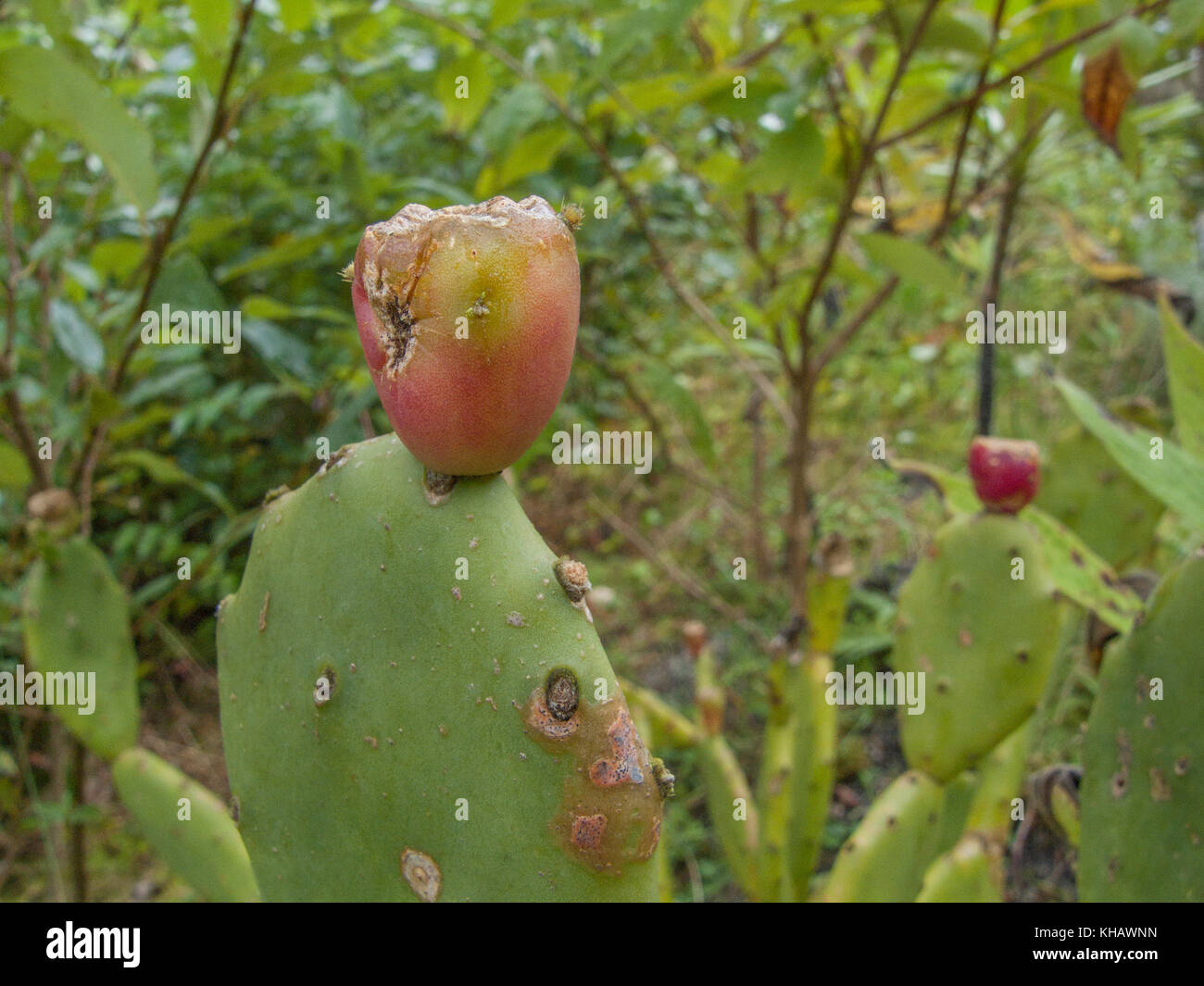 Variety of cactus-like Prickly Pear (Opuntia ficus-indica) plant. Here the fruit is rather old, but when ripe and - Stock Image