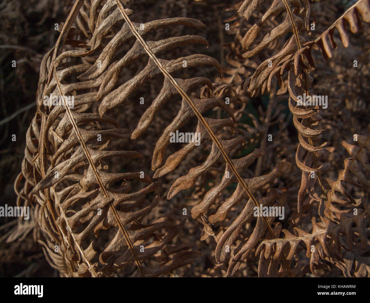 Autumnal foliage of an unidentified fern species in a Cornish hedgerow. - Stock Image