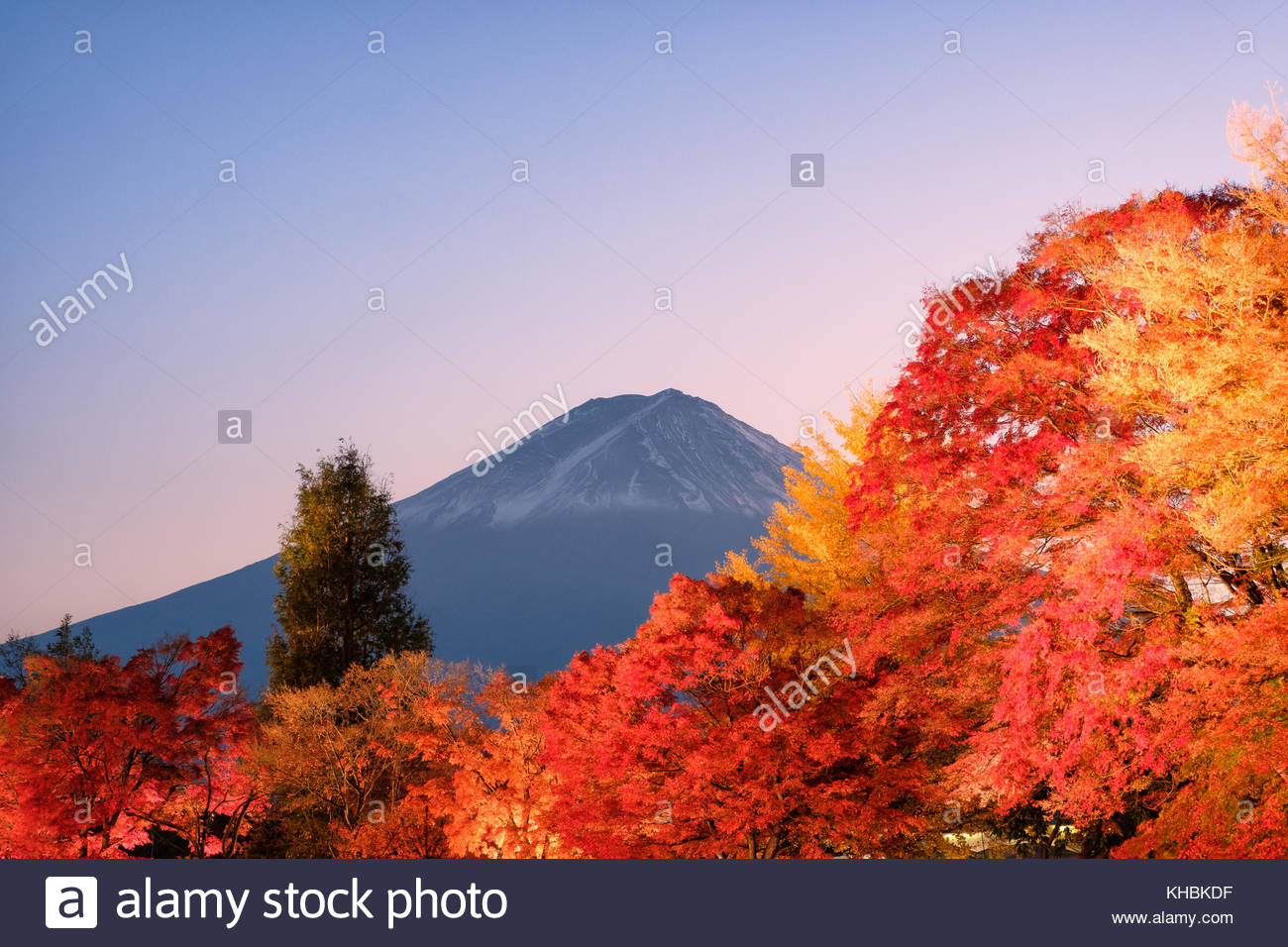 Mount Fuji over red maple garden of light up autumn festival in Kawaguchiko lake, Yamanashi, Japan - Stock Image