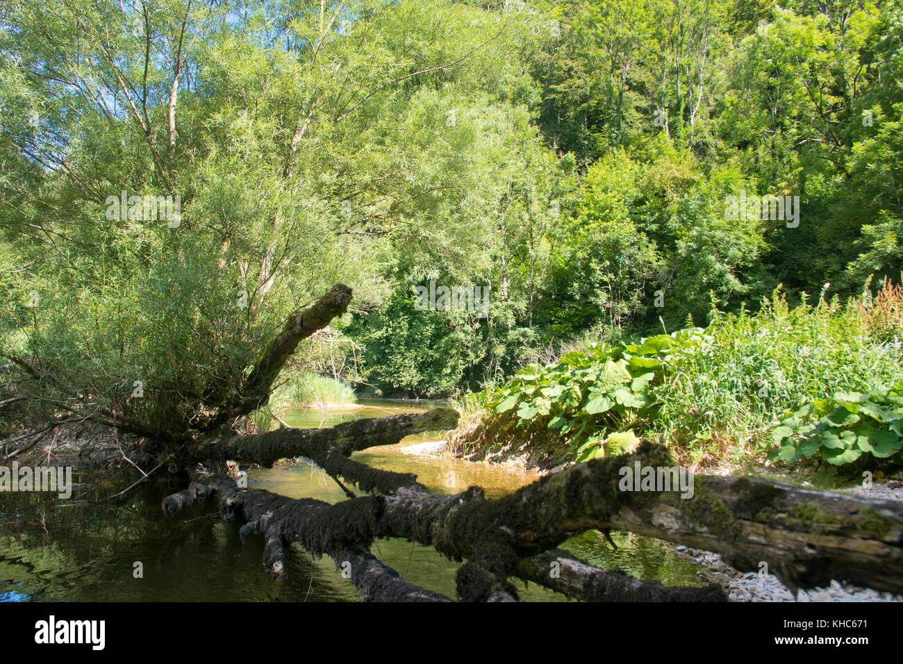 alluvial forest alongside river doubs *** Local Caption *** switzerland, jura, soubey, clos du doubs, valley, doubs, - Stock Image