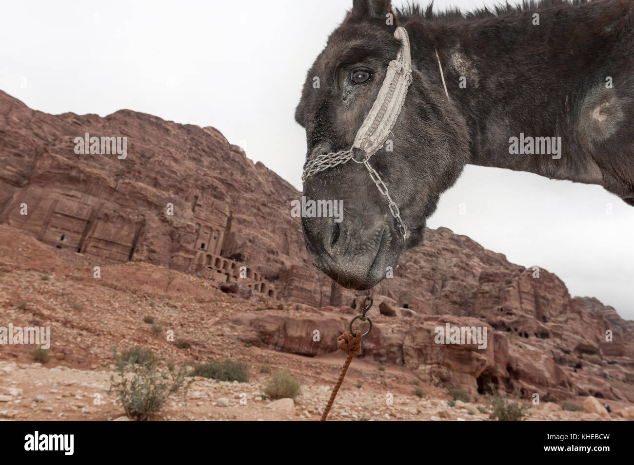 Animal welfare issue at Petra, Jordan, Middle East - Stock Image