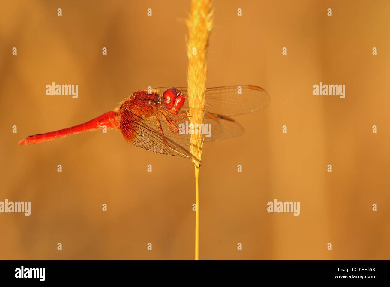 Scarlet dragonfly (Crocothemis erythraea) perched on the dry blade of grass enlightened by evening sun. - Stock Image