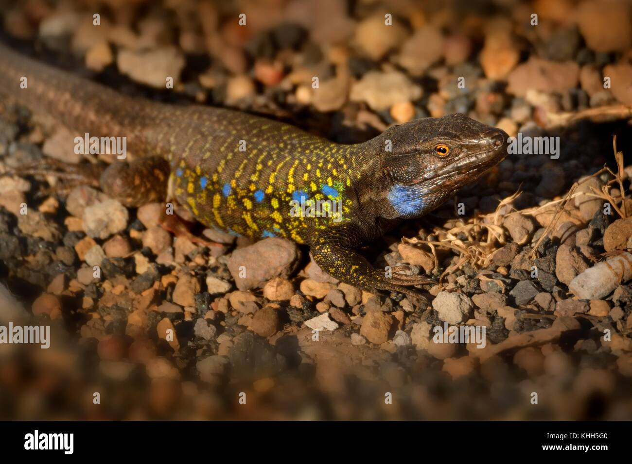 Tenerife Lizard - Gallotia galloti basking in the afternoon sun - Stock Image