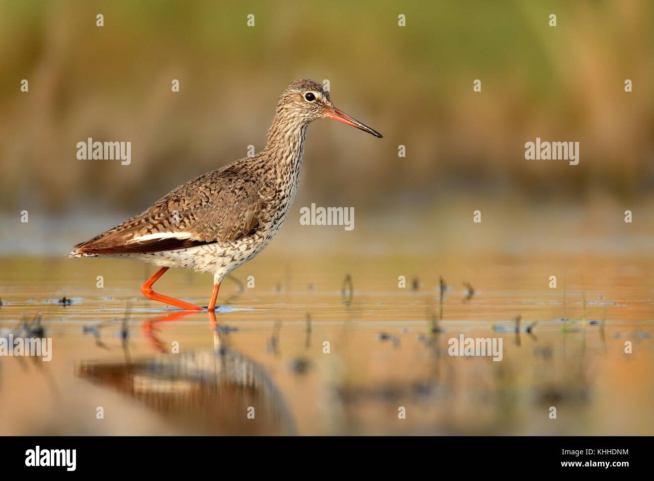 Common Redshank (Tringa totanus) staying in the water - Stock Image