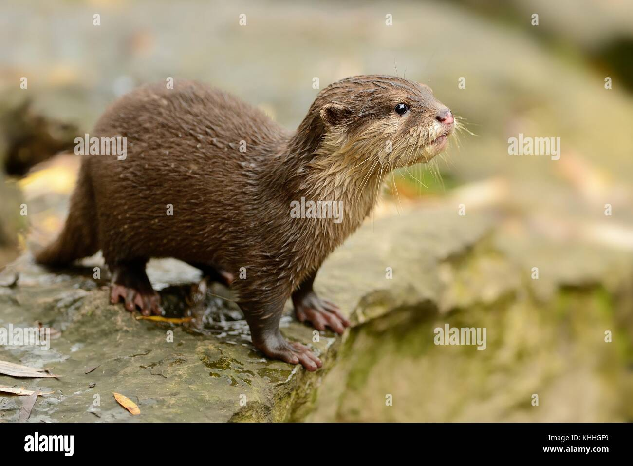 Oriental Small-clawed Otter - Aonyx cinerea on the riverside - Stock Image