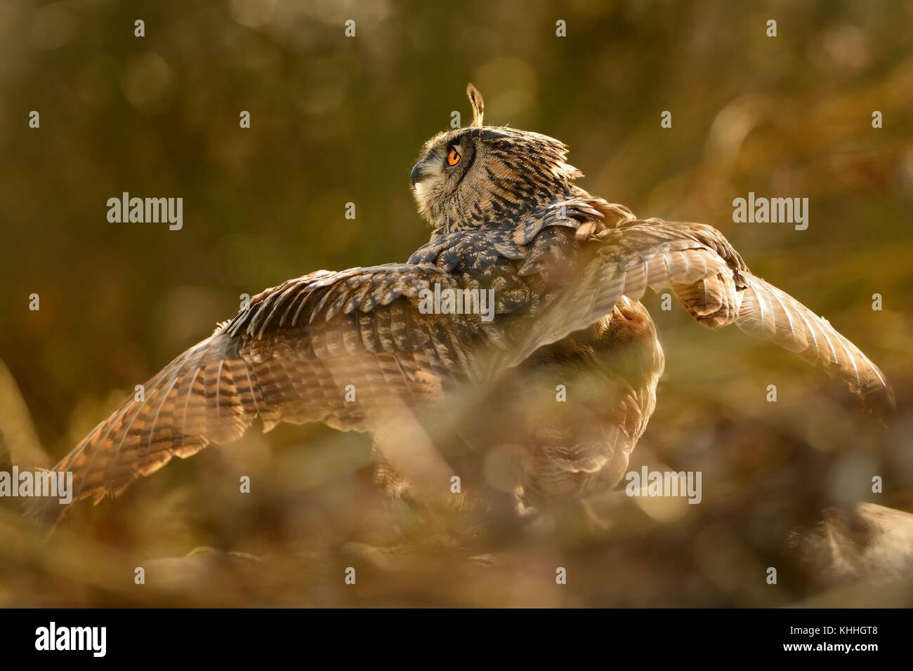 Eurasian Eagle-Owl - Bubo bubo in the bush - Stock Image