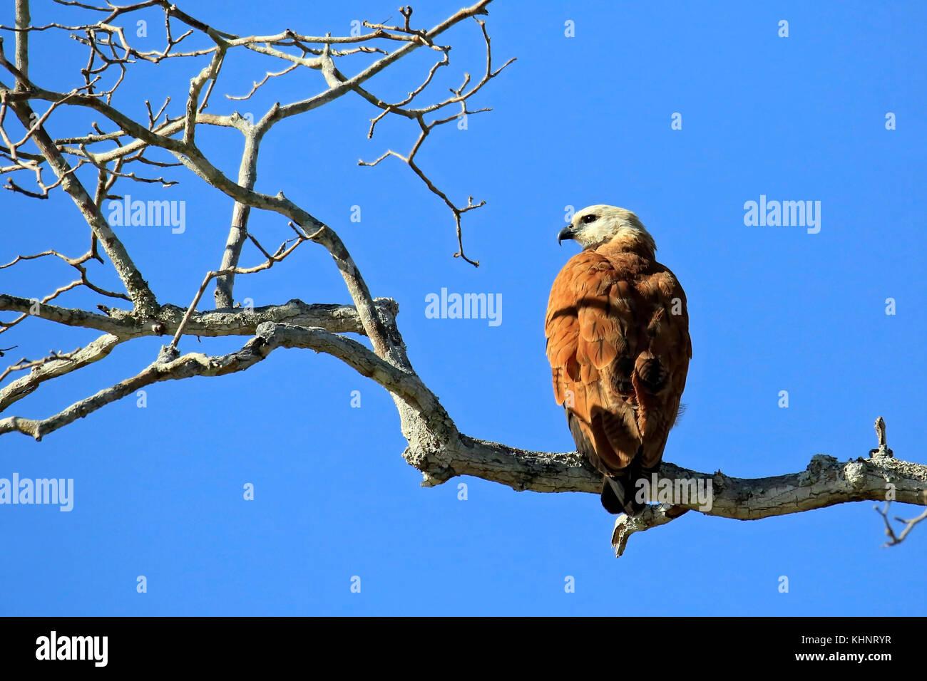 Black-collared Hawk in Profile, on a Branch. Rio Claro, Pantanal, Brazil - Stock Image